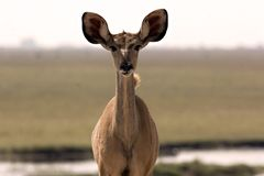 Young Kudu Stock Photo