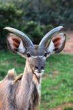 Young Kudu Antelope Royalty Free Stock Photo