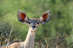 Young Kudu Antelope Royalty Free Stock Photos