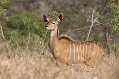 Young kudu bull Stock Images