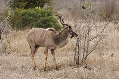 Young kudu bull on alert Royalty Free Stock Photos