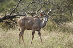 Young Kudu bull in bushveld Stock Photography