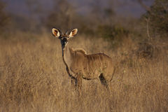 Young kudu bull Stock Photography