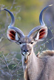 Young Kudu Bull looking straight at photographer. In the wild of South Africa Royalty Free Stock Photos