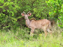 Young Kudu bull Stock Photos