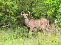Young Kudu bull. In natural environment Stock Photos