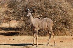 Young Kudu bull. Pilanesberg national park South Africa Stock Photo