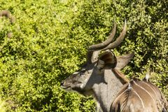 Young Kudu chewing leaves Royalty Free Stock Photos