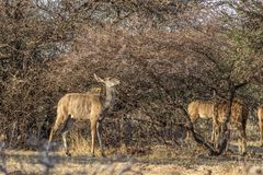 Young Kudu Ewe Under thorny Bushveld Tree.  royalty free stock photo