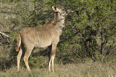 Young Kudu grazing Stock Image