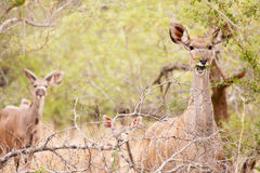 Young Kudu grazing in the wild Royalty Free Stock Image