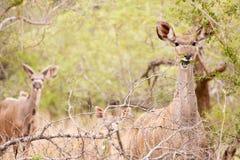 Young Kudu grazing in the wild. Young Kudu males and females grazing in the wild Royalty Free Stock Image