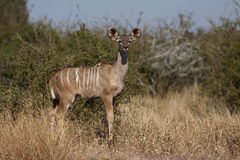 Young Kudu in the Kruger National Park Royalty Free Stock Photo