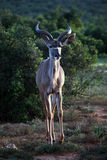 Young kudu male Stock Image