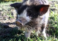 A young Kune Kune piglet. Royalty Free Stock Images