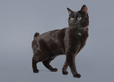 Young Kuril bobtail cat on a gray background Stock Image