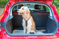 Young labradoodle sitting in the car in the forest Stock Photo