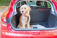 Young labradoodle sitting in the car in the forest. Ready for a walk Stock Images