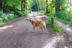 Young labradoodle with a stick in the forest Royalty Free Stock Photo