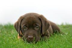 Young Labrador. Labrador's puppy on grass royalty free stock photos