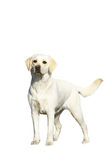 Young labrador Royalty Free Stock Image