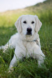 Young Labrador Royalty Free Stock Photography