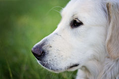 Young Labrador Royalty Free Stock Images