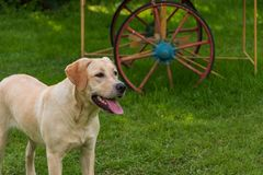 Young labrador breed dog plays in the garden with a ball royalty free stock image
