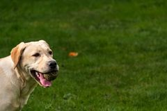 Young labrador breed dog plays in the garden with a ball royalty free stock photography