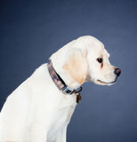 Young labrador dog Royalty Free Stock Images