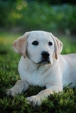 Young labrador dog Stock Image