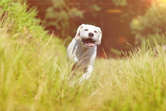 Young labrador dog puppy running with funny face Royalty Free Stock Photo