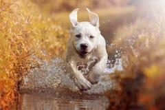 Young labrador dog puppy running through river in sun stock image