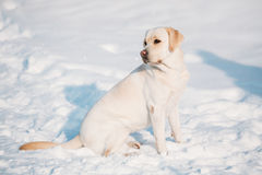 Young labrador dog sit in snow, sunny winter day Royalty Free Stock Images
