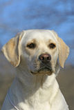 Young labrador portrate Royalty Free Stock Photos
