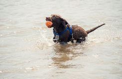 Young labrador puppy with a ball in the water. A young chocolate labrador puppy fetches an orange ball in a lake Stock Image