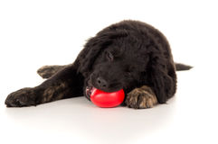 Young Labrador Puppy Chewing On A Toy Royalty Free Stock Photo