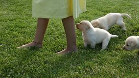 Young labrador puppy dogs following girl feet on the grass stock footage