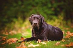 Young labrador retriever dog Royalty Free Stock Images