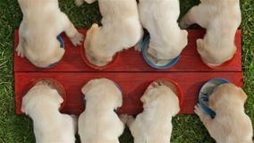 Young labrador retriever puppies eating their food - top view stock footage