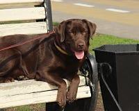 Young labrador retriever puppy on a bench Royalty Free Stock Photography