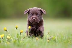 Young labrador retriever puppy Royalty Free Stock Photography