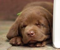 Young labrador retriever puppy Royalty Free Stock Photos