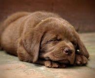 Young labrador retriever puppy Stock Photo