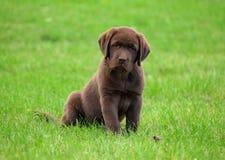Young labrador retriever puppy Stock Images