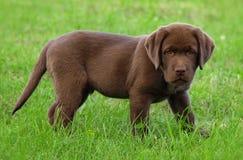 Young labrador retriever puppy Stock Photos