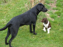A young labrador retriever together puppy Munsterlander Royalty Free Stock Photo