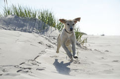 Young labrador running on the beach stock photography