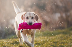 Young labrador. Running out of the water with a pink toy royalty free stock image