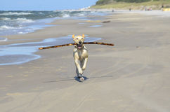 Young labrador running with a stick. Young labrador running on the beach with a stick royalty free stock photography